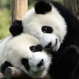 панда дети
