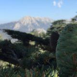 кедры в горах
